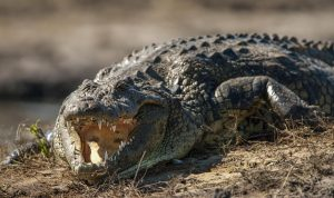 Nile crocodile with mouth open